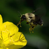 <b>Submitted By:</b> Laurie Lavrack <b>From:</b> Lake Ann <b>Description:</b> While taking photos of our garden sundrops this morning, this bee bumbled by.