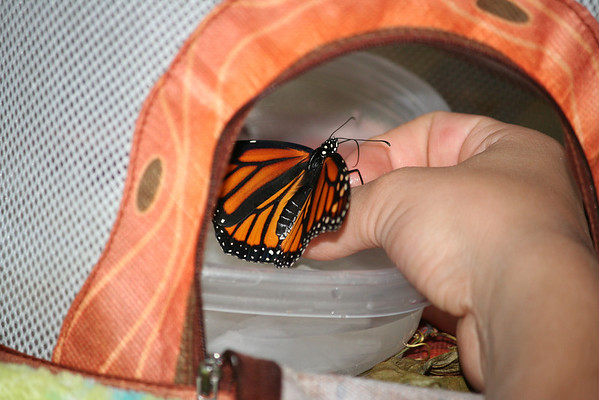 Monarch Butterfly with her wings open before feeding.<br />  <br />  <br /> Photographer:  Roberta Benedict<br /> Early Learning Daycare & Preschool<br /> Between Interlochen & Grawn lights