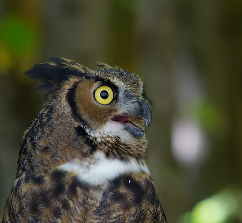 <b>Submitted By:</b> Laurie Lavrack <b>From:</b> Lake Ann <b>Description:</b> Great Horned Owl at Wings of Wonder raptor sanctuary, Empire.
