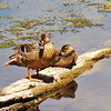 <b>Submitted By:</b> Andy Boyd <b>From:</b> Clay,MI <b>Description:</b> Ducks in Sabin Pond Traverse City,MI