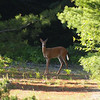 <b>Submitted By:</b> Gwen Rusnell <b>From:</b> Mancelona <b>Description:</b> A buck in velvet!