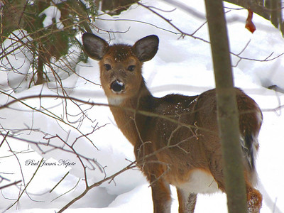 Winter Deer - Boardman Valley  Paul J Nepote Traverse City, Michigan Canon PowerShot SX10IS