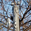 <b>Submitted By:</b> Paul J Nepote <b>From:</b> Traverse City, Michigan <b>Description:</b> TCL&P Newest Lineman, they work for food.
