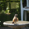 <b>Submitted By:</b> Randy Pattison <b>From:</b> Lake Ann <b>Description:</b> This robin was enjoying our fountain on July 20. It's having a bad feather day!