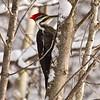 <b>Submitted By:</b> Peggy Sue Zinnn <b>From:</b> Traverse City <b>Description:</b> Woodpecker on a snowy day