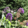 <b>Submitted By:</b> Gail Thelen <b>From:</b> Traverse City <b>Description:</b> Hovering hummingbird drinking nectar from a butterfly bush
