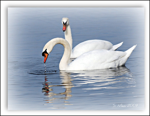<b>Submitted By:</b> Susan Niles <b>From:</b> Traverse City, MI <b>Description:</b> Swans on Boardman Lake, Traverse City, MI