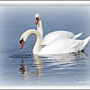 <b>Submitted By:</b> Susan Niles <b>From:</b> Traverse City, MI <b>Description:</b> Swans on Boardman Lake, Traverse City, MI