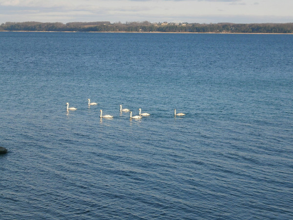 <b>Submitted By:</b> Claudia Murphy <b>From:</b> Traverse City <b>Description:</b> Seven Swans a-swimming on East Grand Traverse Bay November 13, 2012