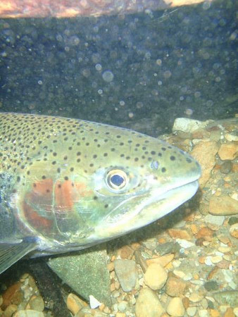 <b>Submitted By:</b> Melanie Schaub <b>From:</b> Traverse City <b>Description:</b> Steelhead in Acme Creek. I was taking underwater pictures while my Husband was tring to catch!