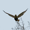 Mitchell Creek Hawk