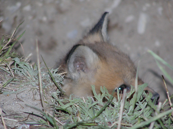 """""""Peek-a-Boo Fox"""". This is the first of many fox photos that I had the <br /> opportunity to take 4 - 6 years ago in the Blair Township area. This baby <br /> fox was just peeking his head out of the hole and I was able to capture him <br /> with an Olympus C-2100uz camera. Note the catch-light in his eyes from the <br /> flash.<br /> <br /> Bill Scott<br /> bshm@charter.net"""