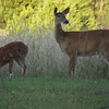 <b>Submitted By:</b> Sandy Coleman <b>From:</b> Traverse City <b>Description:</b> Photo taken Sunday evening. A deer and her fawn in my back yard on West Long Lake Road.