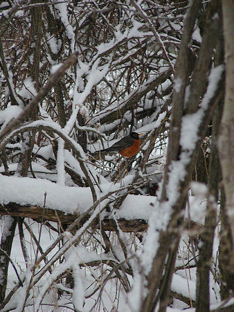 I took this photo of an early to arrive Robin on Mill Road, 4/22.02. We had<br /> a freak snow storm, and this little bird was doing the best that she could.<br /> Olympus 2100UZ digital ZLR about 7:57 a.m.<br /> <br /> Bill Scott<br /> bshm@charter.net