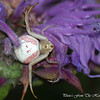 <b>Submitted By:</b> Randal S Hart <b>From:</b> traverse city <b>Description:</b> cool crab spider