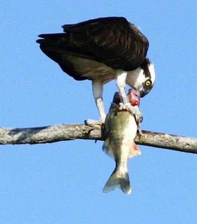 This Osprey (fish hawk) enjoys an omega-3 meal on his favorite branch.<br /> <br /> John Novosad<br /> Houghton Lake