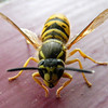 <b>Submitted By:</b> Sharon Kite <b>From:</b> Kalkaska <b>Description:</b> Wasp in House, IN MAy