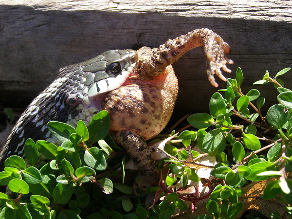 <b>Submitted By:</b> Norma Pszczolkowski <b>From:</b> Traverse City <b>Description:</b> nom.nom.nom - An eastern garter snake makes a snack of an unlucky toad.