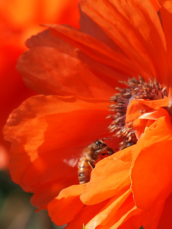 <b>Submitted By:</b> Gwen Rusnell <b>From:</b> Mancelona <b>Description:</b> A Poppie being pollinated