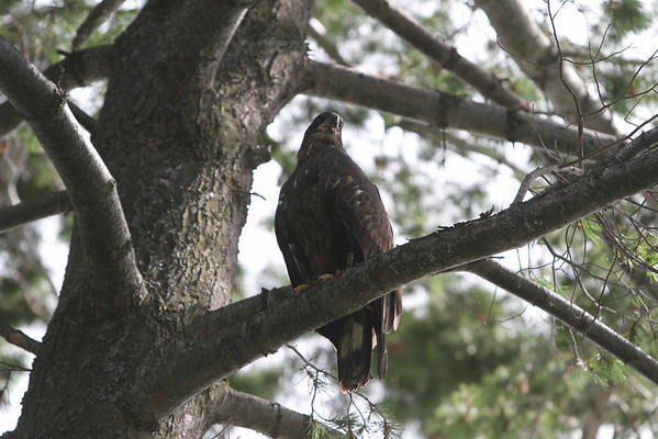 """<b>Submitted By:</b> VB <b>From:</b> Traverse City <b>Description:</b> This """"baby"""" eagle has decided to hang out along the shores of east bay."""