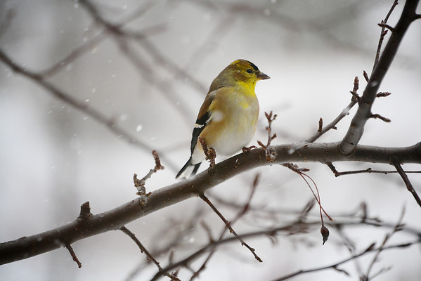 """<b>Submitted By:</b> Myongsoon Cho <b>From:</b> Traverse City <b>Description:</b> January 17, 2012 Yellow Finch """"Is it spring yet?"""""""