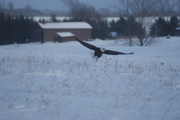 <b>Submitted By:</b> Chuck Gollay <b>From:</b> Lake Ann <b>Description:</b> I saw this giant bird sitting on a fence post.  As I got closer, I saw that it was a bald eagle, so I pulled over to the side of the road and shot a few pictures.  This was in a field off of CR 633 in Grawn.