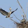 Will It Hold Both Of Us?<br /> <br /> Great Blue Herons in Northern Michigan.<br /> <br /> John Novosad<br /> Houghton Lake