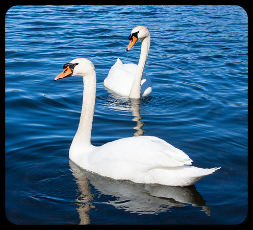 Spring Swans<br /> <br /> Photographer's Name: Pam Murphy<br /> Photographer's City and State: Traverse City, MI