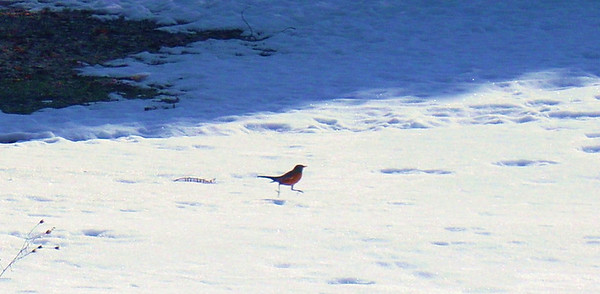 <b>Submitted By:</b> cynthia smith <b>From:</b> Traverse City <b>Description:</b> 3-9-10 Robins are here this morning!River Ridge Assisted Living.