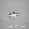 <b>Submitted By:</b> Cathy McKinley <b>From:</b> Suttons Bay <b>Description:</b> Eagles fishing on Grand Traverse West Bay in the Christmas Eve snowy afternoon. Taken on M-22 between Traverse City and Sutton Bay.