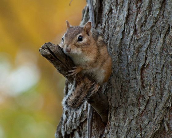 <b>Submitted By:</b> Steve Nowakowski <b>From:</b> Lambertville, MIchigan <b>Description:</b> Chippy posing for a picture on a tree inside Interlochen State Park.