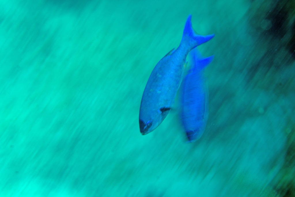 """Wrasses in Motion""... Purposely blurred to highlight these active reef-dwellers."