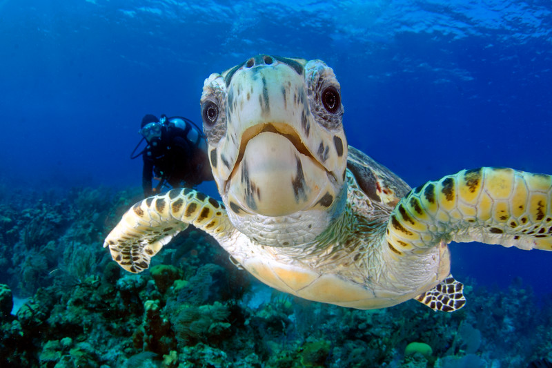 Hawksbill Turtle and Friend!