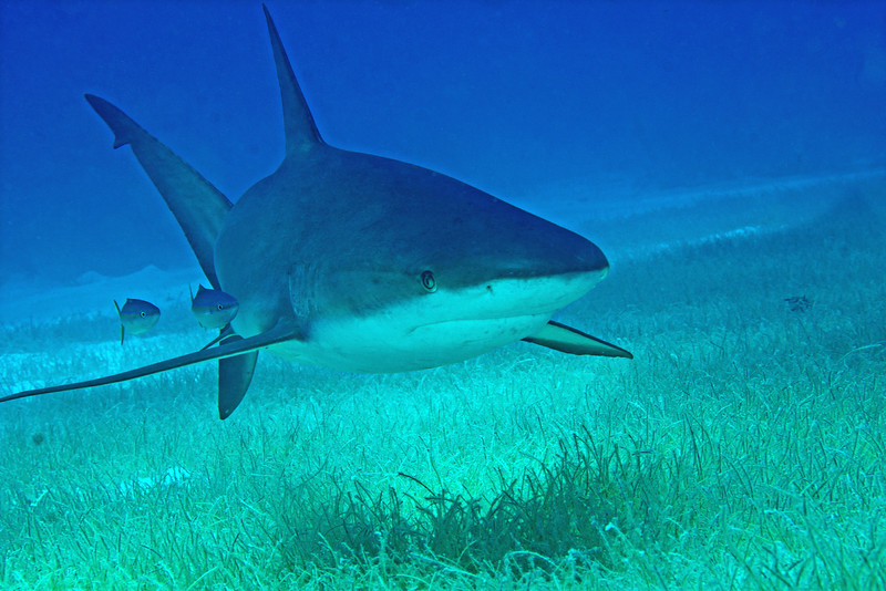 """Shark in the Grass"". Lighthouse Reef, Belize"