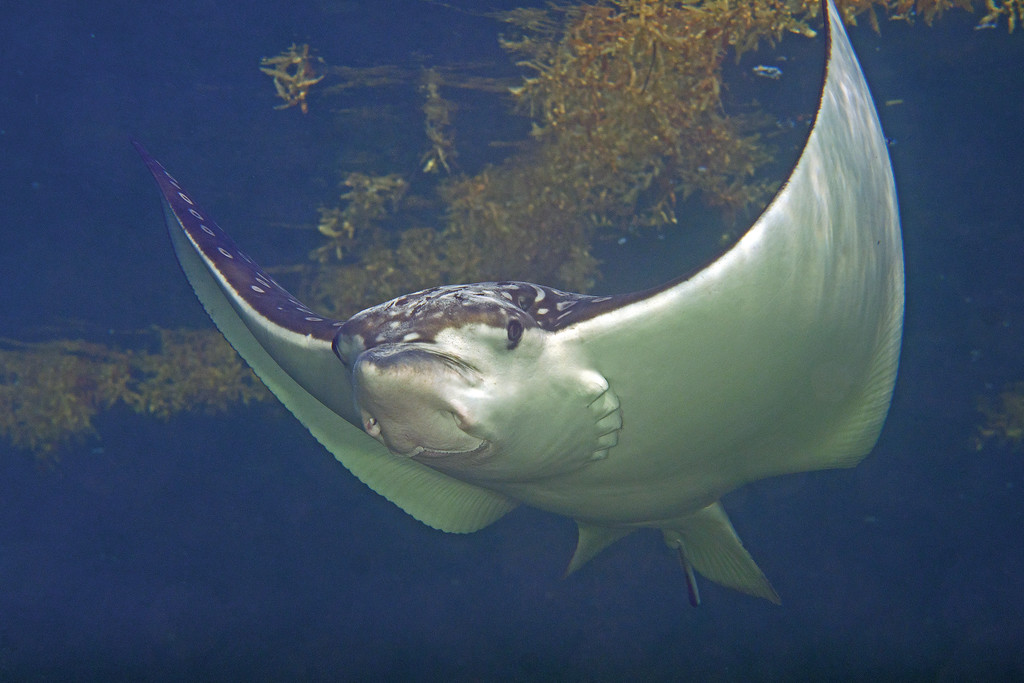 """""""Stumpy"""". A beautiful young Eagle Ray in Belize... who happens to be missing most of his tail!"""