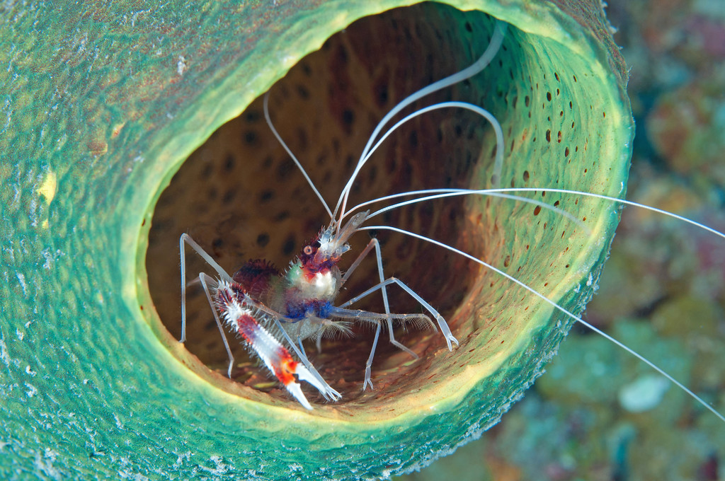 "A more ""traditional"" Banded Coral Shrimp shot!"