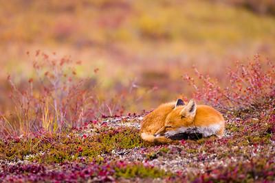 Tundra Slumber