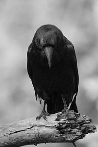 Downcast Raven B&W
