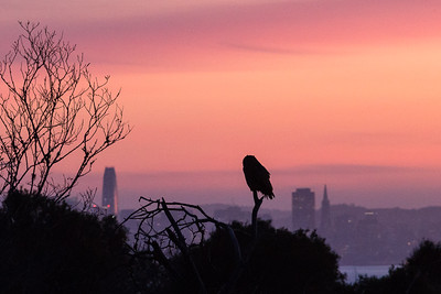 SF View Owl