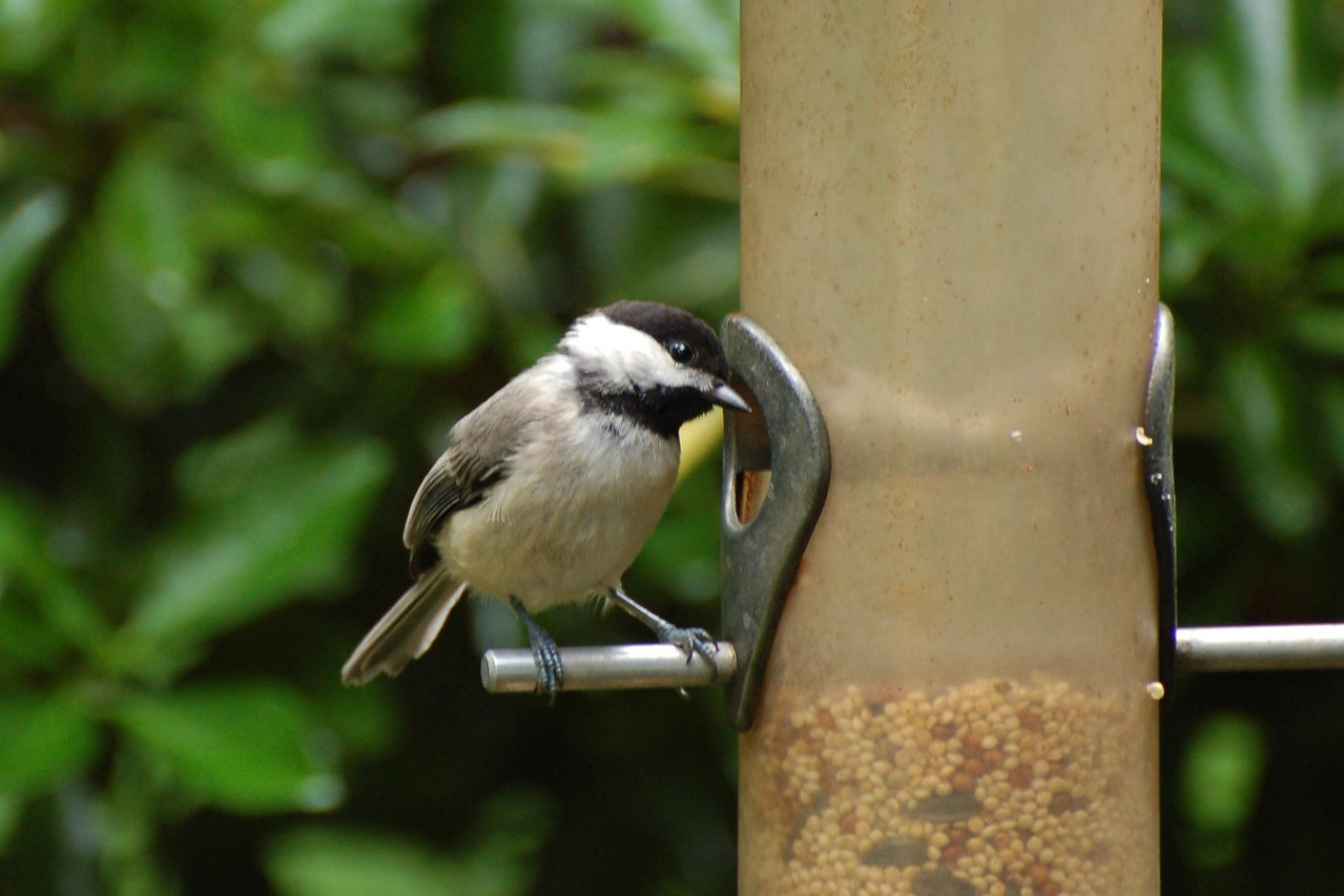 Chickadee next door... is there anything left?