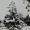 Cedar tree on the west side of the house when it was young.  It still lives and shades the NW garden.