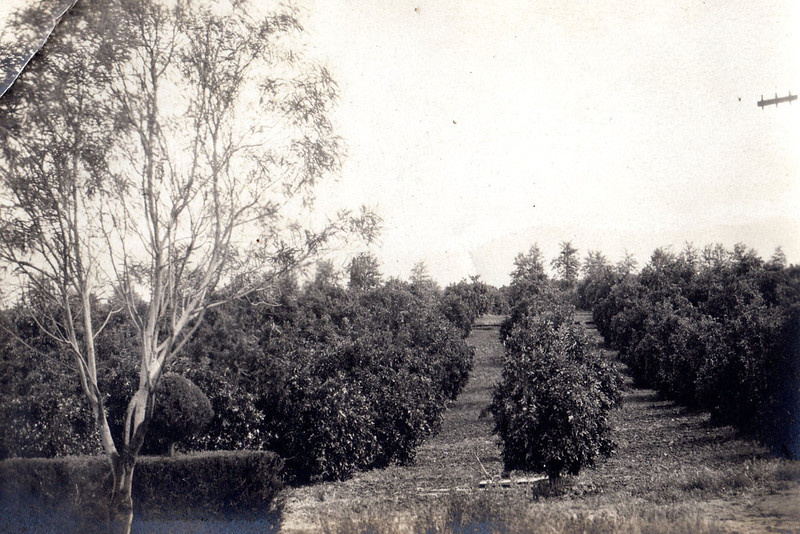 The orange grove.  Originally 20 acres, until the big frost when all of the trees were lost.  After the frost, 10 acres were sold.