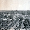 good view of the orange grove.  I wonder is that is Ford Ave?  The big freeze of 1913 killed all the orange trees.
