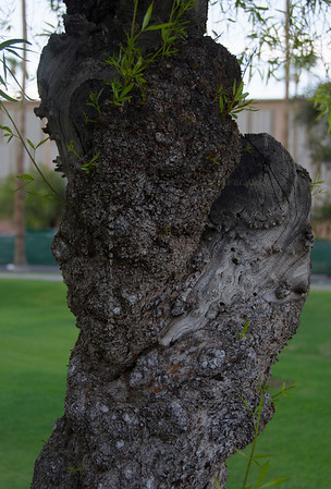 ASU knotty tree trunk 3477