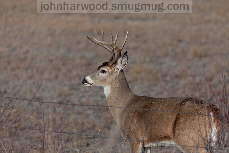 Wildlife - Whitetail Deer