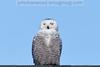Snowy Owl near Polson, Montana