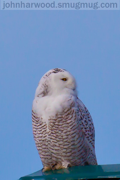 Visiting Snow Owls