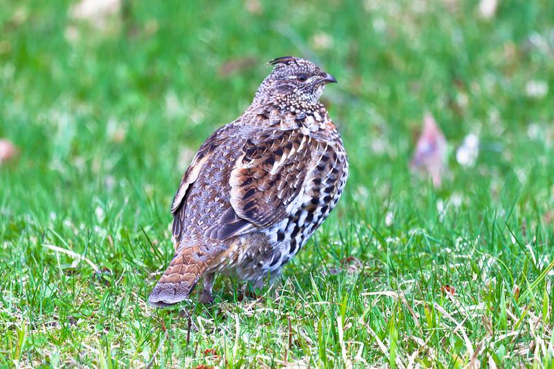Upland Game Bird hunting