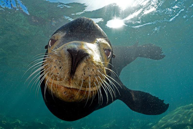 Californian Sealion - Zalophus californianus - Sea of Cortez, Mexico