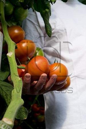Tomaten Rijk Zwaan